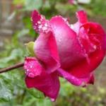 Bloemen verzorgen