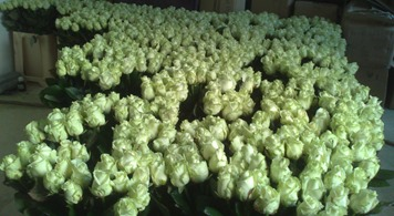 1000 witte avalance